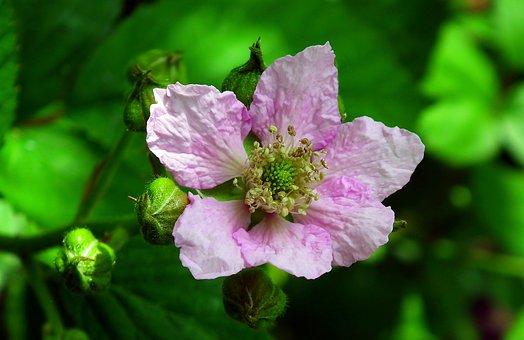 Blackberry, Bezkolcowa, Flower, Nature, Closeup, Garden