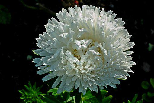 Aster, White, Flowers, Nature, Garden, The Petals