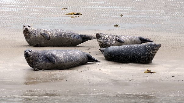 Animal, North Sea, Seal, Robbe, Curiosity