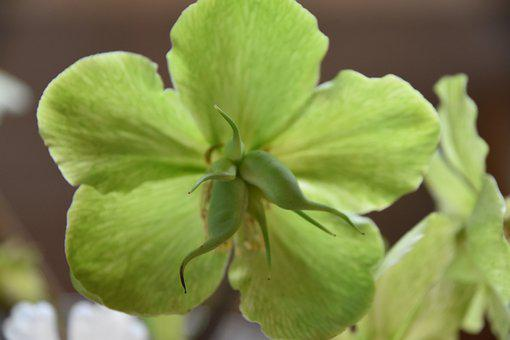 Hellebore, Plant, Nature, Flower, Green, Ribs