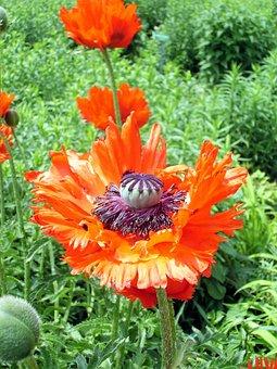 Poppy, Poppy Capsule, Red, Mohngewaechs, Poppy Flower