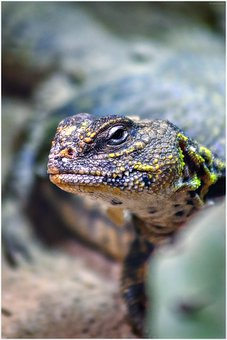 Lizard, Reptile, Close Up, Scale, Scaly, Terrarium