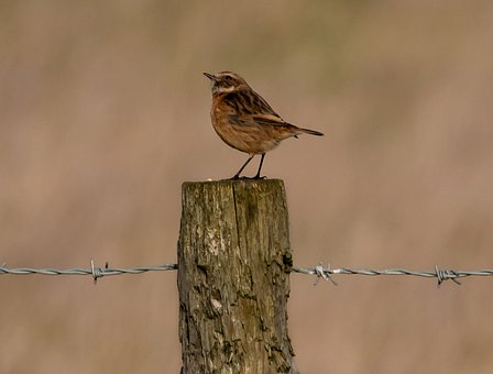 Stonechat, Small Bird, Songbird, Perched, Post, Winter