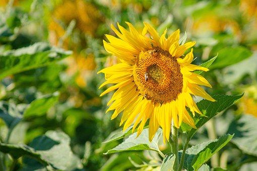 Sunflower, Field, Sun, Green, Yellow, Tongue Blooms