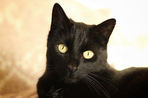 Cat, Black, Portrait, Cute, Sweet, Pet, Young