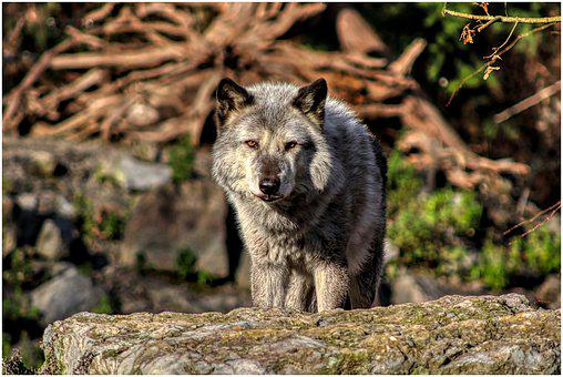 Timberwolf, Wolf, Predator, Pack, Timber Wolves, Forest