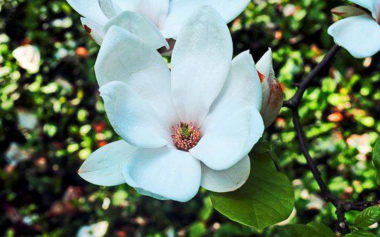 Flower, White, Almost, Tree, Magnolia, Twig, Flowers