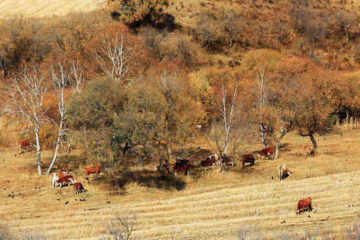 The Scenery, Autumn, Ye Tian, Plant, Animal, Cow