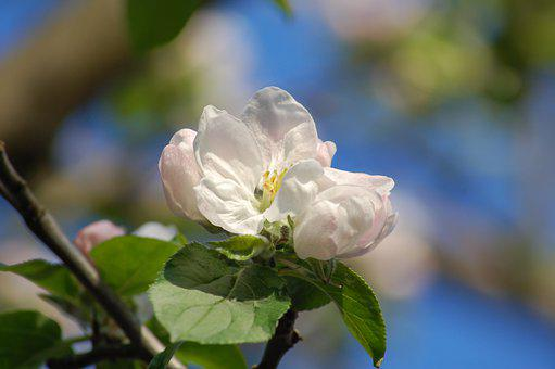 Spring, Apple Blossom, Apple Tree, Blossom, Bloom