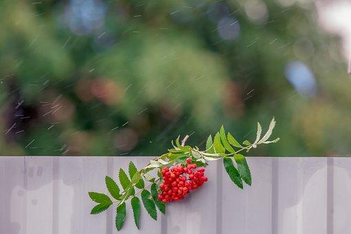 Rowan, Rain, Nature, Bad Weather, Autumn, Tree, Season