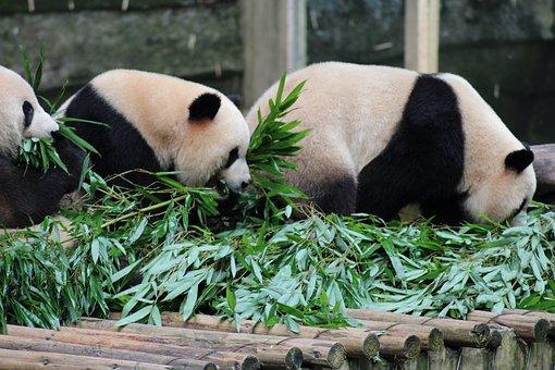 China, Panda, Bear, Zoo