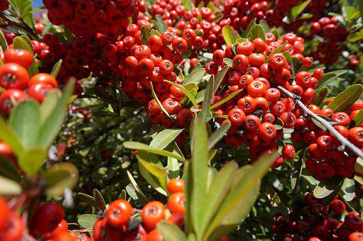 Berries, Plant, Leaves, Red, Nature, Life