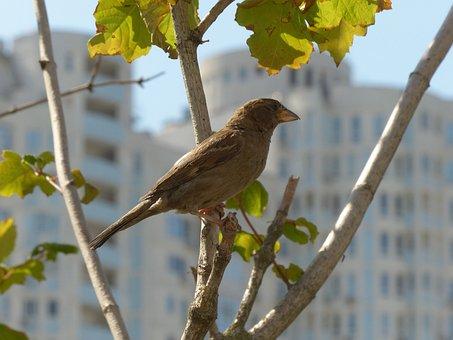 Sparrow, Bird, Birdie, Pen, Plumage, Birds, Nature