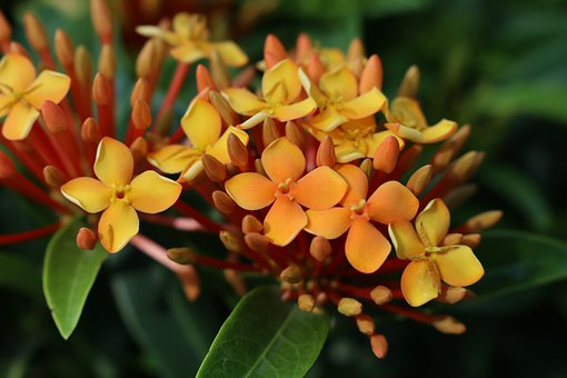 Bloom Orange Flower, Garden, Leaf, Ixora, Nature