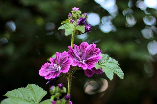 Malva Bibir Felho, Boemen, Garden, Purple, Summer