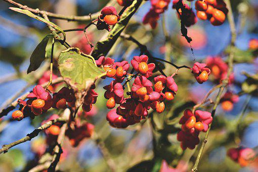 Fortunei, Bush, Fruits, Berries, Branch, Autumn