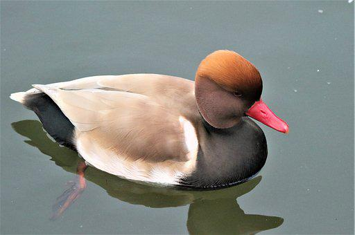 Bird, Waterbird, Wildlife, Plumage, Colourful, Pochard