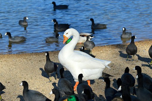 American Coots, Coots, White Duck, Duck, Water, Nature
