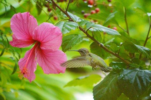 Hummingbird, Hibiscus, Flower, Wings, Blossom, Spring