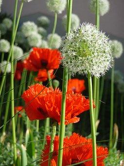 Poppy, Red, Flower, Plant, Summer, Allium
