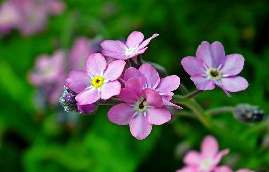 Nots, Flowers, Pink, Garden, Spring, Closeup, Nature