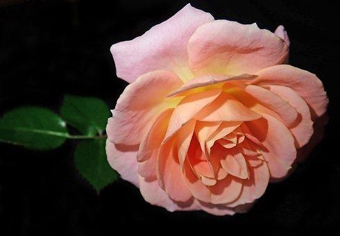 Flower, Pink, Rose, Fragrant, Plant, Garden, Nature