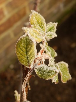 Frost, Hoarfrost, Leaf, Rose, Leaves, Cold, Frozen