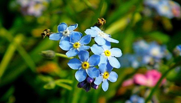 Nots, Flowers, Blue, Garden, Spring, Closeup, Nature