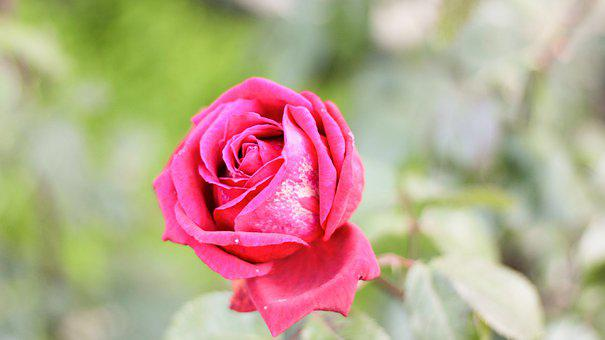 Rose, Red, Nature, Green, Garden, Love, Countryside