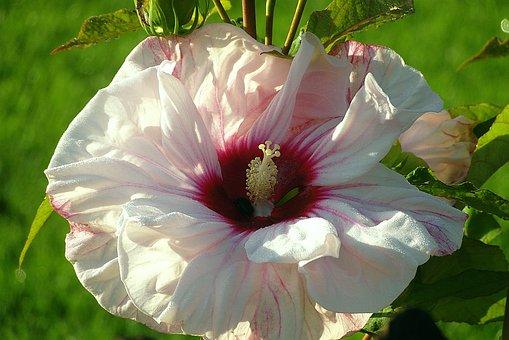 Hibiscus, Hibiscus Syriacus, Bird's Milk, Tropical