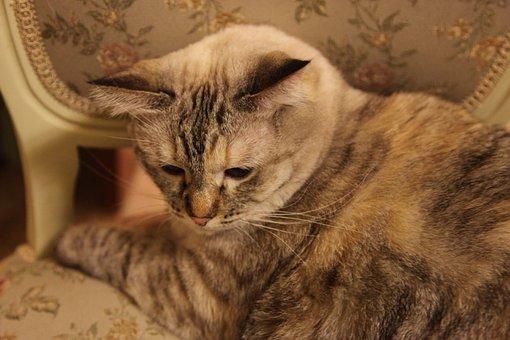 Cat, Thai, Animals, Home, Pet The Separating Comma