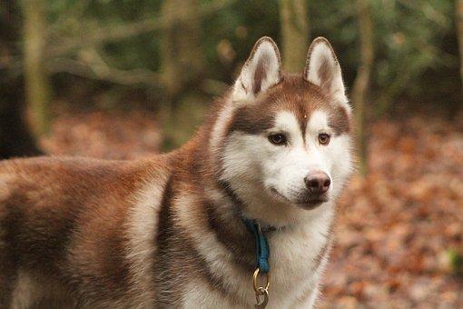 Siberian Husky, Husky, Dog, Pet, Animal, Fur, Domestic