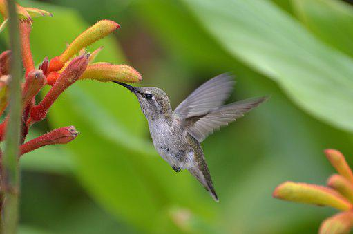 Hummingbird, Kangaroo Paws, Nature, Wildlife, Wings