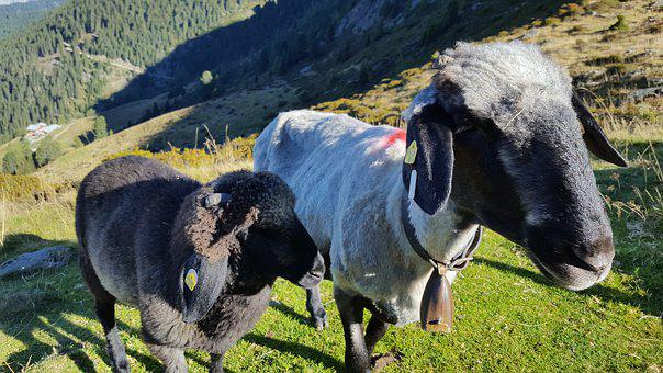 Nature, Meadow, Sheep, Animals, Graze, Look, Attention