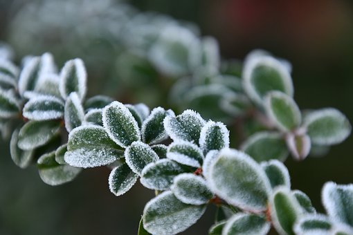 Rime, Milk Thistle, Winter, Frost, Foliage, Nature