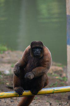 Monkey, Nature, Animal, Primate, Mammal, Wildlife, Ape
