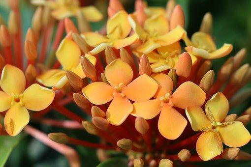Four Petals Orange Ixora Flower, Bloom, Multi