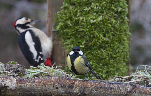Bird, Big Woodpecker, Spokes, Garden, Nature, Animal