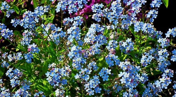 Nots, Flowers, Blue, Garden, Spring, Nature