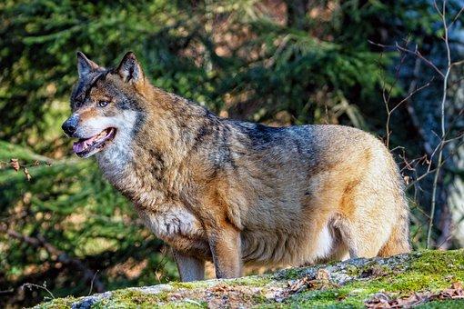 Wolf, National Park, Animal World, Nature, Predator
