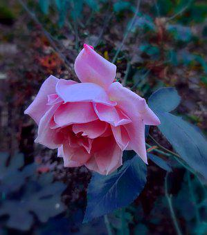 Pink, Rose, Flower, Love, Romantic, Nature, Beauty