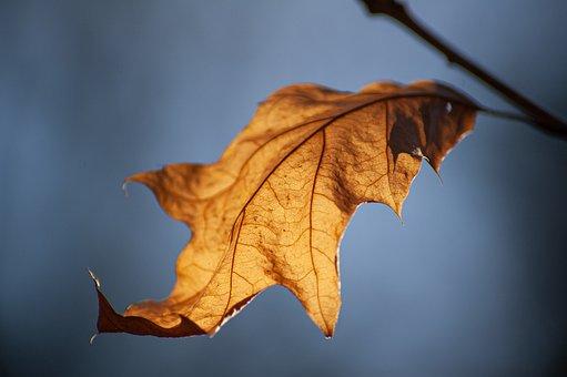 Autumn, Leaves, Oak, Oak Leaves, Sun, Grey