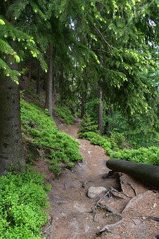 Path, Forest, Nature, Naturally, Travel, Needles, Trees