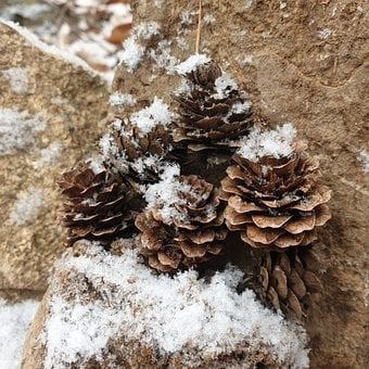 Cone, Pineal, Winter, Pine Cone, Pine, Evergreens, Wood