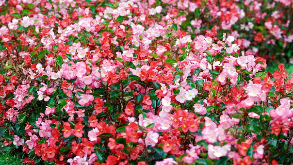 Flowers, Red, Pink, Colors, Nice, Garden, Leaves, Green