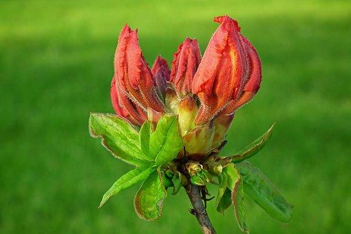 Azalea, Bud, Spring, Garden, Nature, Flower, Plant