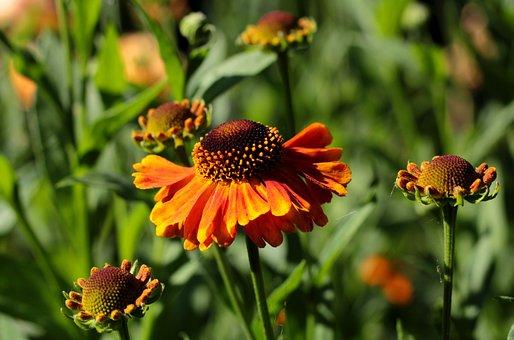 Helenium Waltraut, Rosilla, Summer, Orange, Sunny