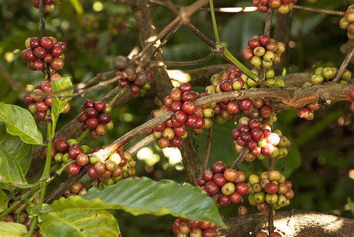 Coffee Plant, Coffee Seeds, Plant, Bean, Seed, Nature