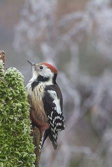 Bird, Medium Woodpecker, Spokes, Garden, Nature, Animal