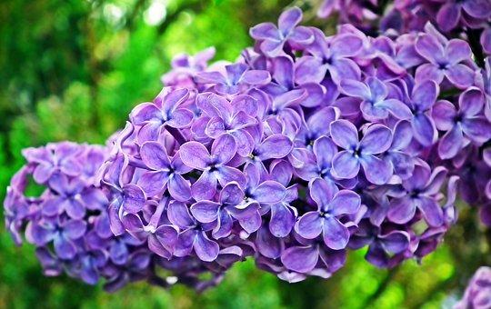 Lilac, Flowers, Sprig, Spring, Garden, Nature, Violet